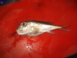 Ikan Buntal Laut