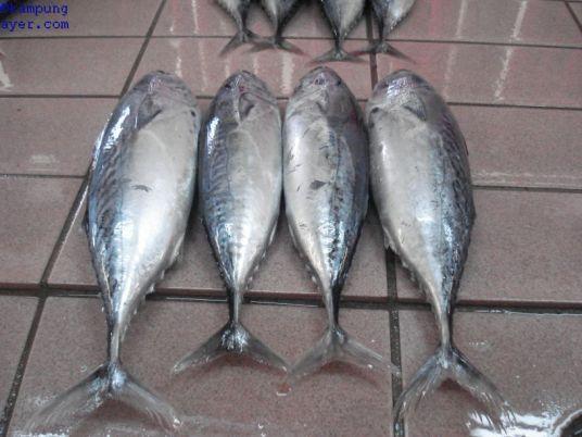 Ikan012