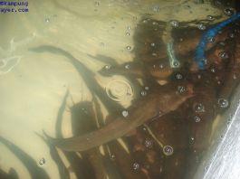 Ikan038