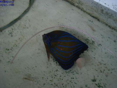 Ikan043